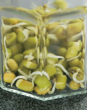 A photograph of a glass jar with shoots inside.
