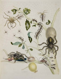 Spider engraving by Maria Sibylla Merian