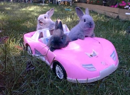 Three bunnies driving a car