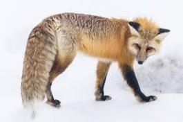 computer generated picture of a fox