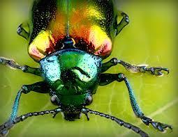 Closeup of a Japanese beetle