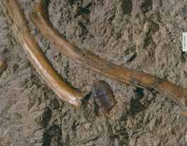 Folsom point among Bison bones. © Denver Museum of Nature and Science