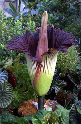 Corpse Flower at US Botanic Garden