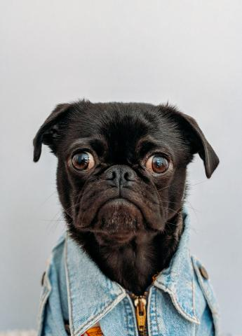 Pug in a shirt with a sad face.